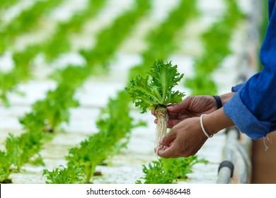 Hydroponics,Organic fresh harvested vegetables,Farmers hands holding fresh vegetables.