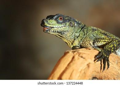 Hydrosaurus Weber (agama)