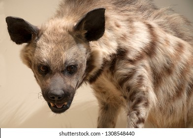 Hyena is about to hunt