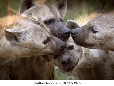 Hyena clan sniffing one another, friendship.