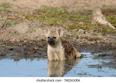 Hyena cooling off, Kruger National Park, South Africa