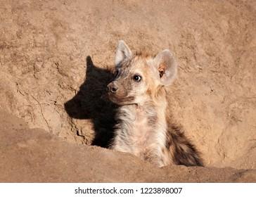 Hyena Cub sitting in a hole
