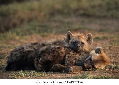 Hyena cubs sleeping, Masai Mara, Kenya