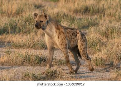 A Hyena In Etosha National Park