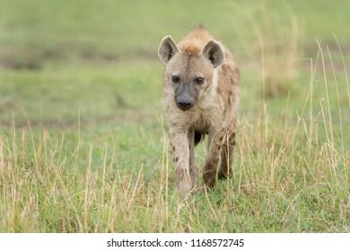 Hyena (Hyaenidae) - In The Grass