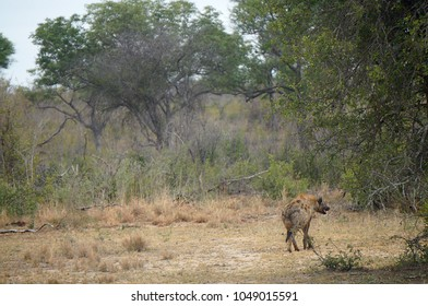 Hyena at Kruger National Park in South Africa