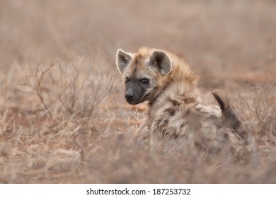 Hyena in the Kruger National Park, South Africa