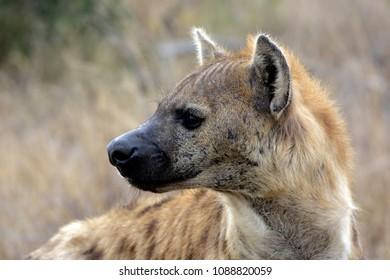 Hyena looking back nervously - Kruger Park