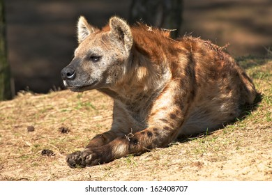 hyena lying down in the sun