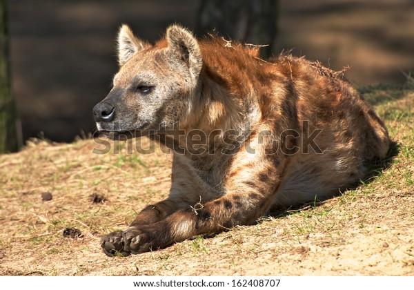 hyena lying down in the sun