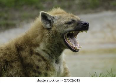 Hyena at Miami Zoo