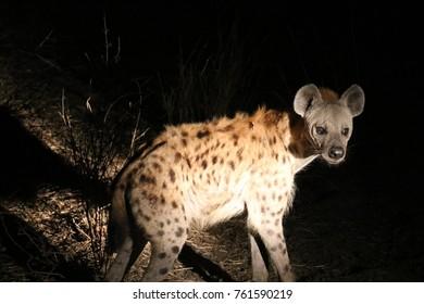hyena in the  night light