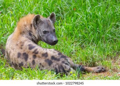 hyena on the grass green.