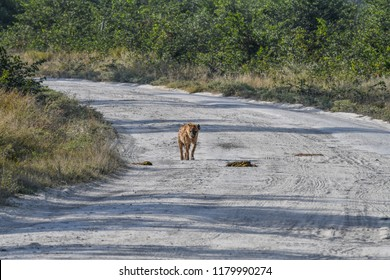 Hyena on the road