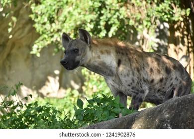 Hyena in the open zoo