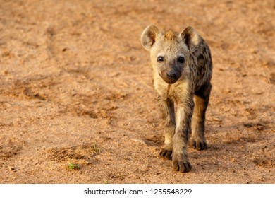 Hyena pup at the hyena den in the early morning in a Game Reserve in the greater Kruger Area in South Africa