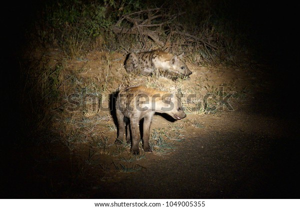Hyena Pups at Night at Kruger National Park in South Africa