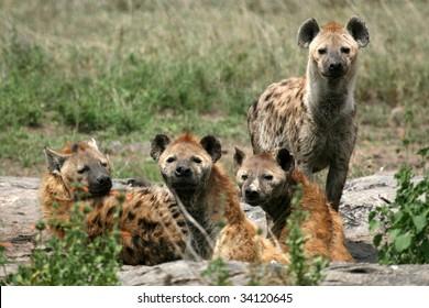 Hyena - Serengeti Wildlife Conservation Area, Safari, Tanzania, East Africa