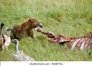 A hyena tearing the leg off a buffalo carcass watched by vultures