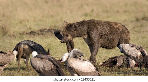 Hyena, vultures and jackal around a zebra carcass in Masai Mara Kenya
