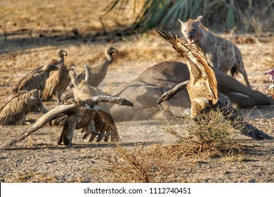 Hyena and vultures in Seluos Game Reserve, Tanzania