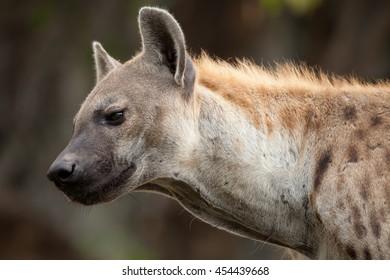 Hyena in the wild.