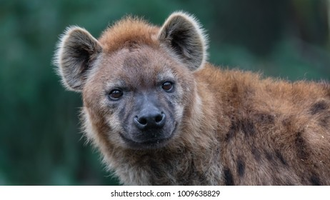 Hyena in winter coat