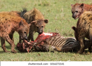 hyenas devouring and fighting over their recent kill of a zebra