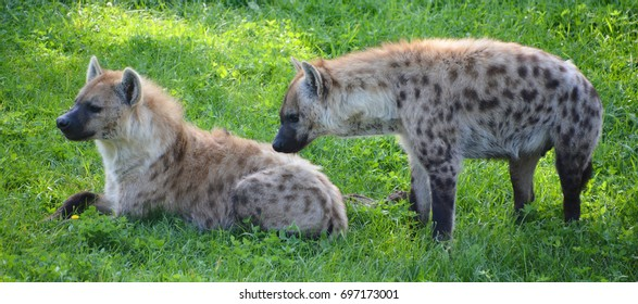 Hyenas or hyaenas. With only four extant species, it is the fifth-smallest biological family in the Carnivora, and one of the smallest in the class Mammalia.