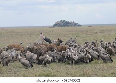 hyenas and vultures on zebra kill