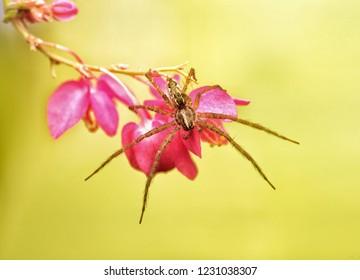Hygropoda dolomedes flexi-legs spider