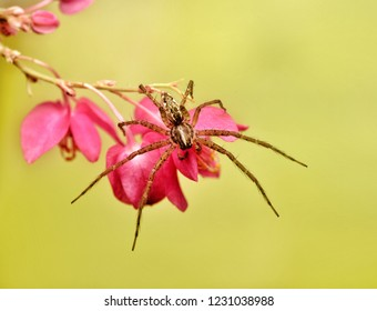 Hygropoda dolomedes flexi-legs spider resting on pink flowers
