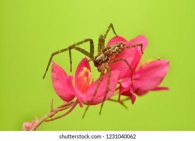 Hygropoda dolomedes flexi-legs spider resting on pink flower