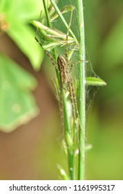 Hygropoda sp. - flexi-legs spider