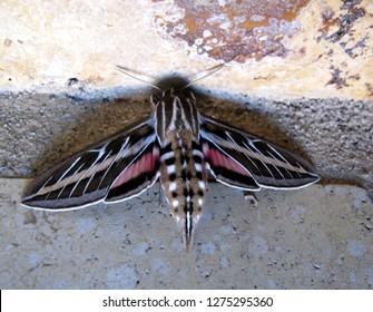 Hyles lineata white-lined sphinx or hummingbird moth Sphingidae