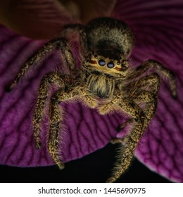 Hyllus Diardi Jumping Spider on an orchid flower looking at camera