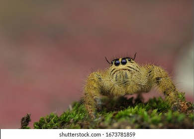 Hyllus diardi ( jumping spider ), Hyllus diardi is a species of spider that belongs to the family Salticidae.  This species is also part of the genus Hyllus and the Araneae order