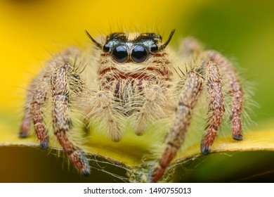 Hyllus jumping spider Focus on the eye area.