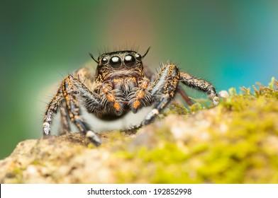 Hyllus Keratodes Jumping Spider