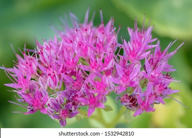 Hylotelephium spectabile (Sedum spectabile), species of flowering plant in the stonecrop family Crassulaceae. Its common names include showy stonecrop, ice plant, and butterfly stonecrop.