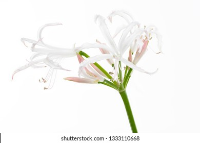 Hymenocallis flower isolated on white background