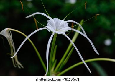 Hymenocallis littoralis (Jacq.) Salisb. Liliaceae (Amaryllidaceae) Spider Lily