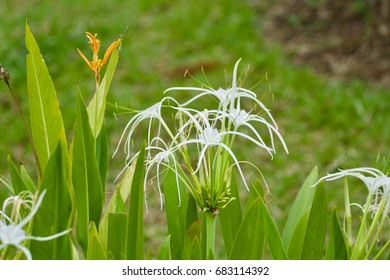 Hymenocallis littoralis Salisb white flower
