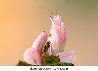 Hymenopus coronatus, also called H. bicornis, is a mantis from the tropical forests of Southeast Asia. It is known by various common names including walking flower mantis and (pink) orchid mantis