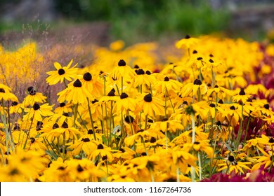 Hyndreds of black-eyed susans fill the screen
