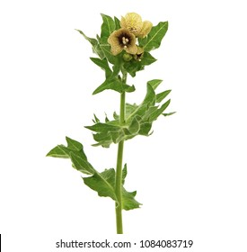 Hyoscyamus niger known as henbane, black henbane or stinking nightshade
