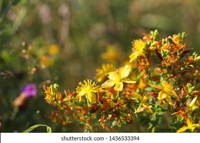 Hypericum flowers (Hypericum perforatum or St John's wort) on the meadow at sunrise with dew drops, selective focus on some flowers
