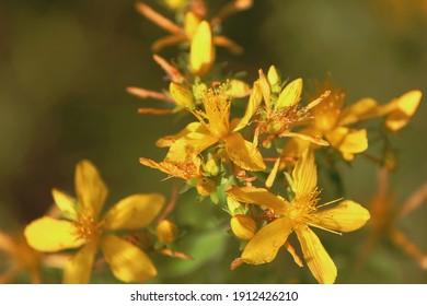 Hypericum perforatum, Klamath weed, Saint John's wort, common St. John's-wort, perforate St John's-wort, Echtes Johanniskraut.  Golden-yellow Hypericum flowers close-up in sunlight outdoors in summer.