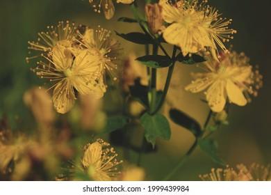 Hypericum perforatum, St. John's wort, perforate St John's-wort, Klamath weed. St. John's wort bush with yellow flowers in sunlight on summer day. Blooming St. John's wort yellow background.