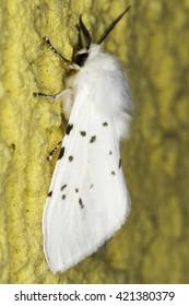 Hyphantria cunea / the fall webworm moth